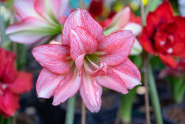 Kwiaty / rośliny niebezpieczne dla psa i kota: amarylis. Zdjęcie ilustracyjne