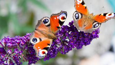 Budleja to roślina, która jest szczególnie lubiana przez motyle. Zdjęcie ilustracyjne