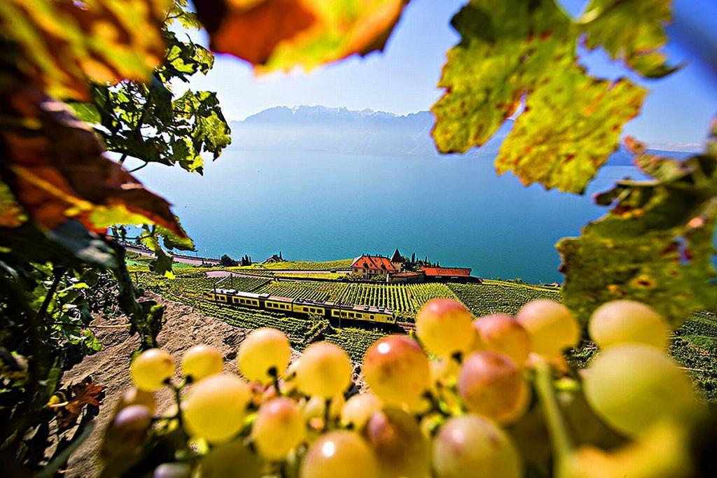 Winnice nad Jeziorem Genewskim