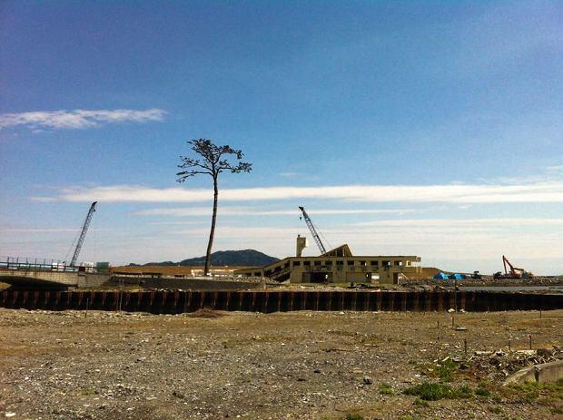 Cudem ocalała po tsunami sosna,  jedyna z całego lasu, w którym rosło ich siedemdziesiąt tysięcy