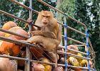 Małpy na łańcuchach - tak produkuje się mleczka i oleje kokosowe. Brytyjskie sklepy z nich rezygnują