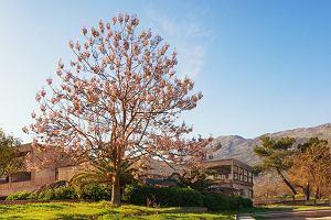 Paulownia - piękne drzewo o szybkim wzroście. Czy znajdzie w Polsce amatorów?