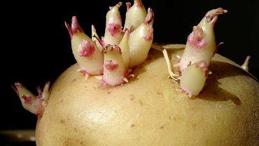 Kiełkujących ziemniaków nie trzeba wyrzucać - po usunięciu narośli nadają się do zjedzenia
