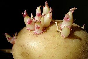 Nie wiesz, czy możesz jeść ziemniaki, które wypuściły już pędy? Co zrobić, żeby więcej się nie pojawiały?