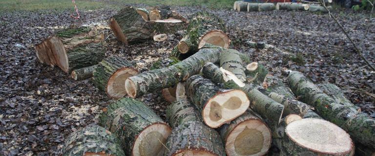 Wycinka drzewa na zabytkowych Błoniach Elekcyjnych w Warszawie