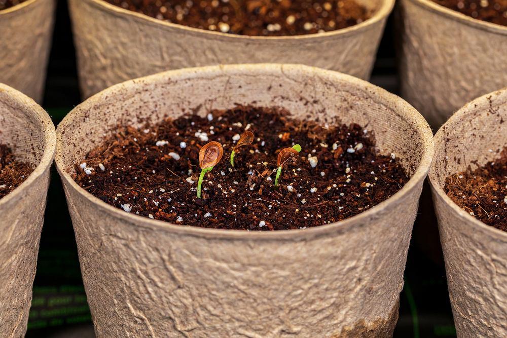 Co to jest stratyfikacja nasion? Zdjęcie ilustracyjne