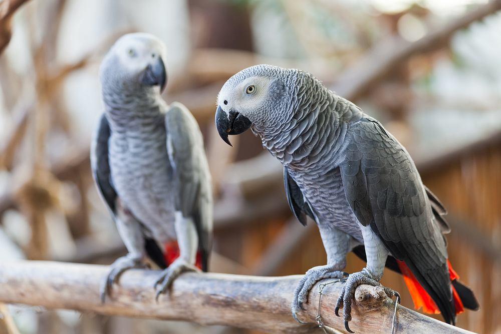 Papugi w brytyjskim zoo musiały zostać przeniesione. Obrażały gości