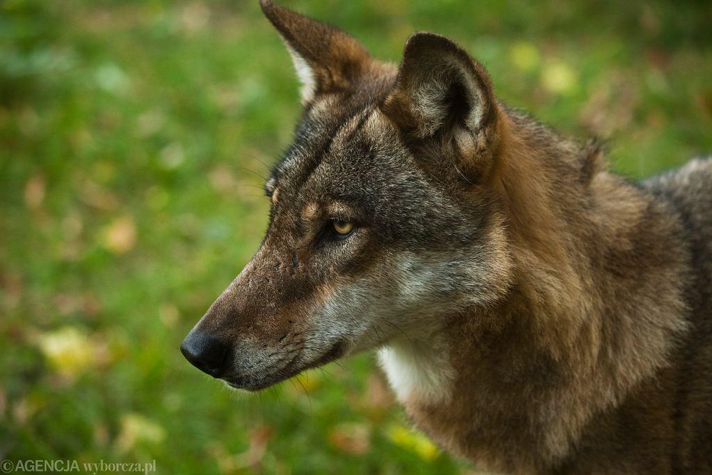 Wilki nie mają naturalnych wrogów? To nieprawda. Nadleśnictwo: Niepozorni i niebezpieczni