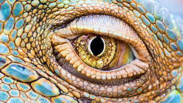 Oko legwana zielonego
