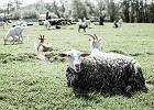 Znasz dowcip o kupnie kozy? Dlaczego powinniśmy o tym pomyśleć?