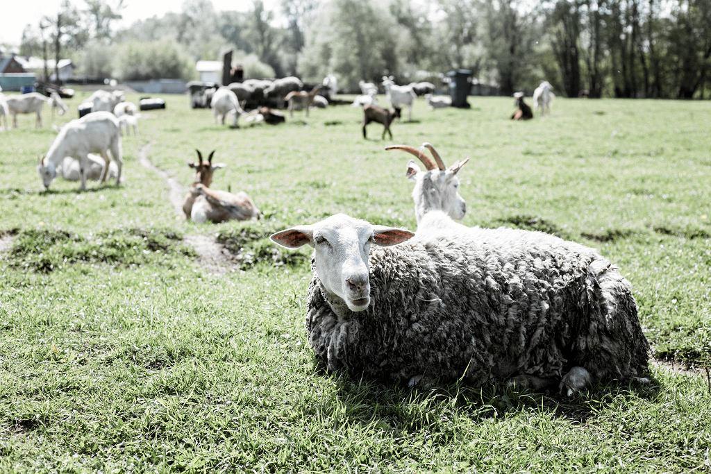 Stado kóz i owiec w gospodarstwie Rastama Khaybulaew
