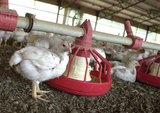 Fatalne warunki pracy w zakładach przetwórstwa drobiu w USA. Pracownicy załatwiają się w pieluchy