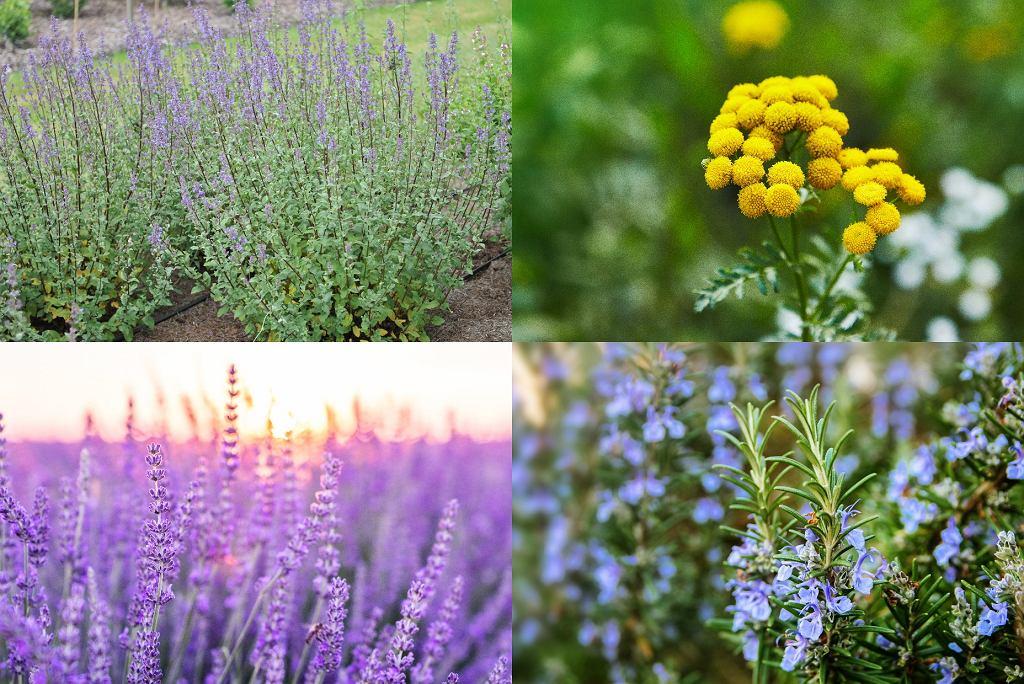 rośliny odstraszające kleszcze - kocimiętka, wrotycz, lawenda, rozmaryn