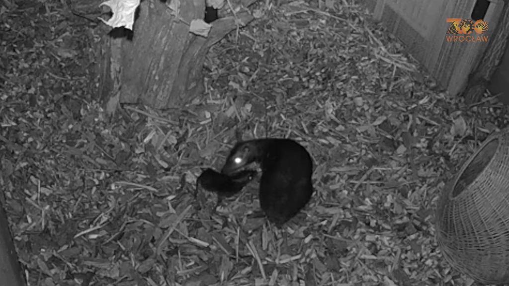 Narodziny myszojelenia we wrocławskim zoo.