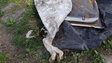 Martwy cielak pod plandeką, zagłodzone zwierzęta. Interwencja aktywistów w państwowym instytucie w Falentach