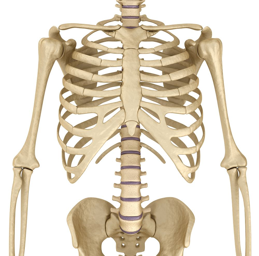 Żebra to elementy układu kostnego człowieka, które ochraniają przed urazami organy wewnętrzne.