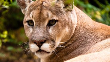 Puma płowa (zdjęcie ilustracyjne)