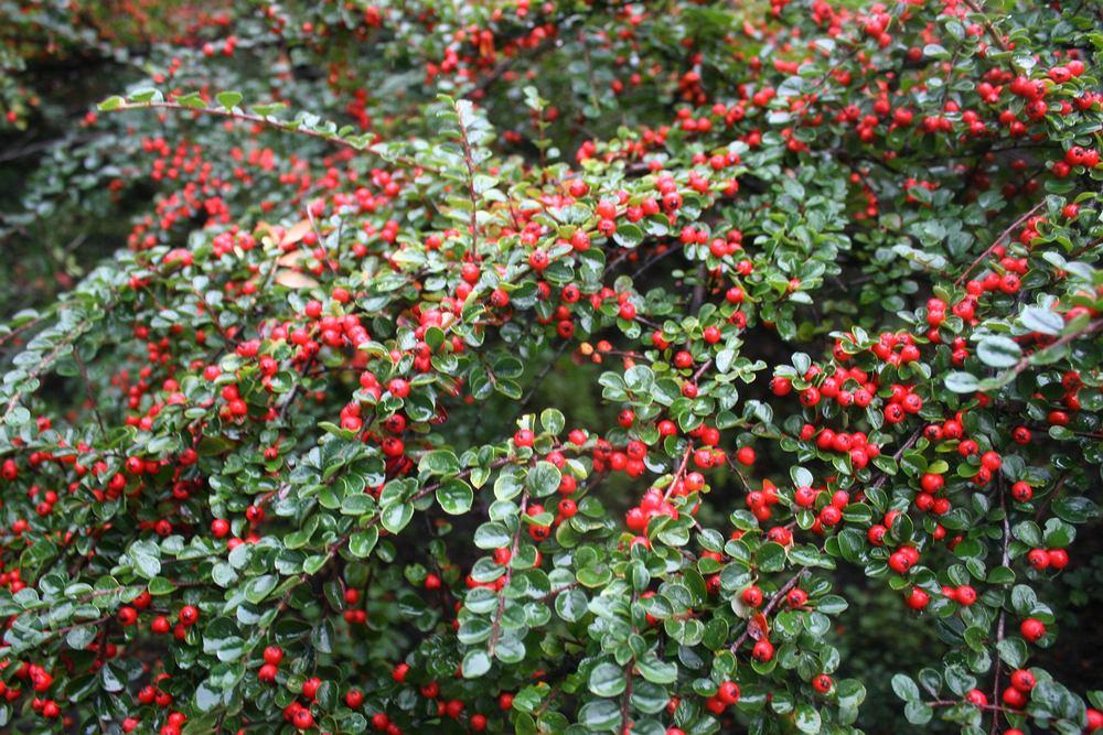 Irga - prosty w uprawie krzew, doskonale nadający się do ogrodu. Zdjęcie ilustracyjne