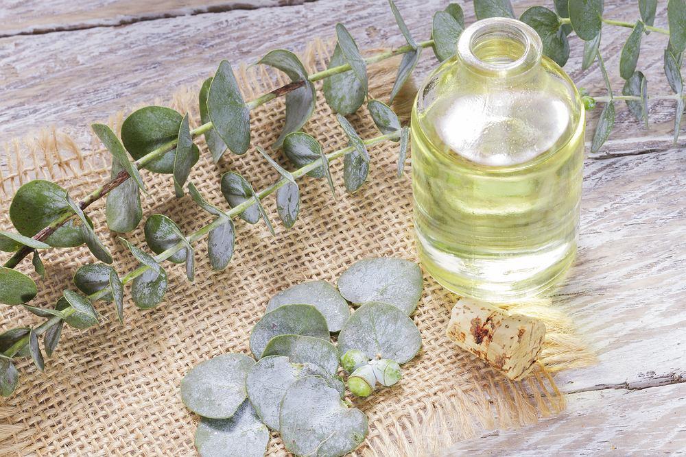 Olejek eukaliptusowy wzmacnia odporność. Zdjęcie ilustracyjne