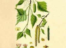 Podpiwek z soku brzozowego - ugotuj