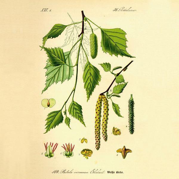 Brzoza - Betula pendula