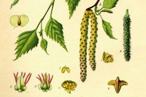 Soki z drzew - brzoza