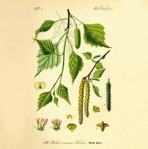Podpiwek z soku brzozowego