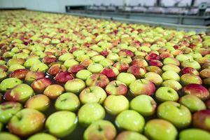 Klęska urodzaju w polskich sadach. Kto zje 500 tys. ton jabłek, których nie przerobi przemysł?