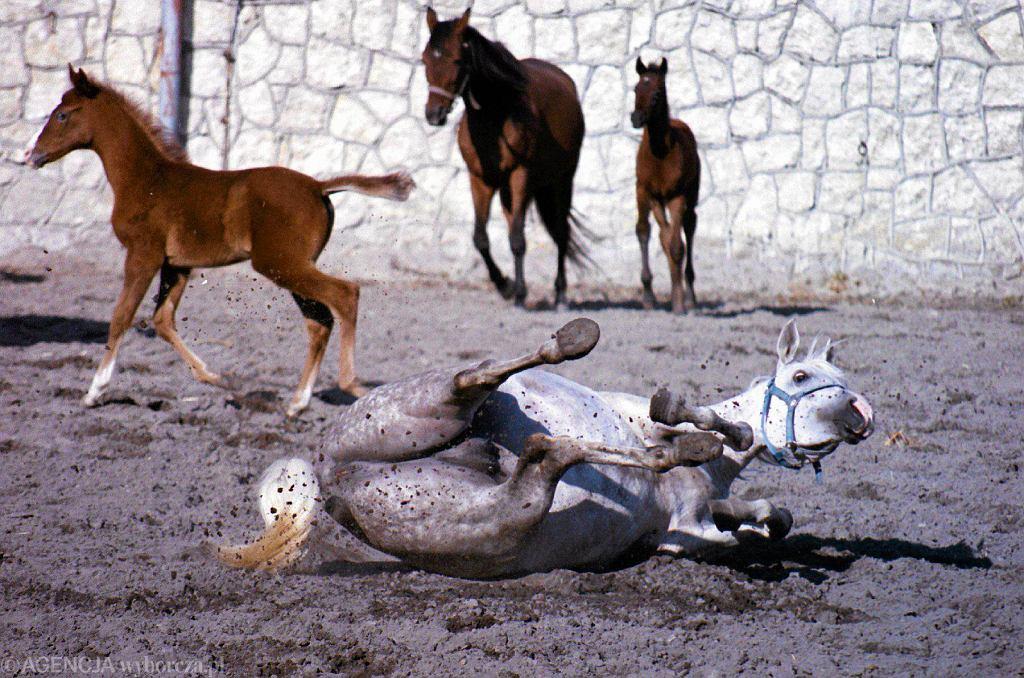 Stadnina koni Michałów oprócz arabów posiada grupę koni małopolskich o bardzo rzadkiej maści tarantowatej, a także kilkanaście kuców szetlandzkich. Na zdjęciu: klacze na wybiegu z źrebakami.