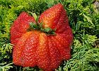 Koktajl z jednej truskawki? W Kajetanowie to możliwe - znaleziono rekordowo duży owoc