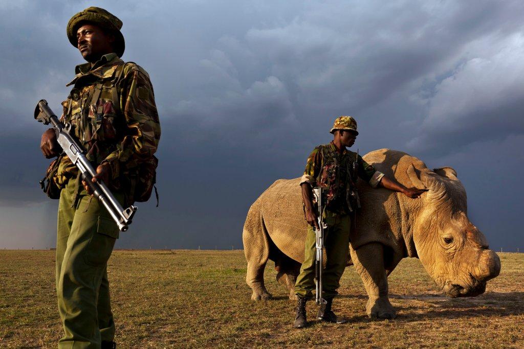 Sudan - ostatni samiec białego nosorożca północnego na świecie