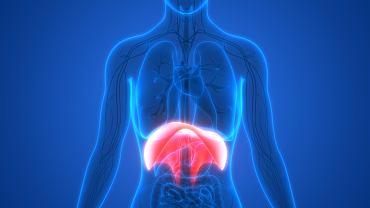Przepona to jeden z największych mięśni w naszym ciele. Z jego pomocą unosi i opuszcza się klatka piersiowa, dzięki czemu możemy zrobić wdech oraz wydech.