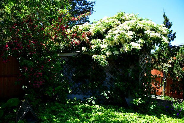 Hortensja pnąca. Zdjęcie ilustracyjne