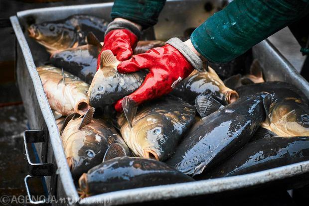 Odławianie karpi  w Gospodarstwie  Rybnym w Łyszkowicach