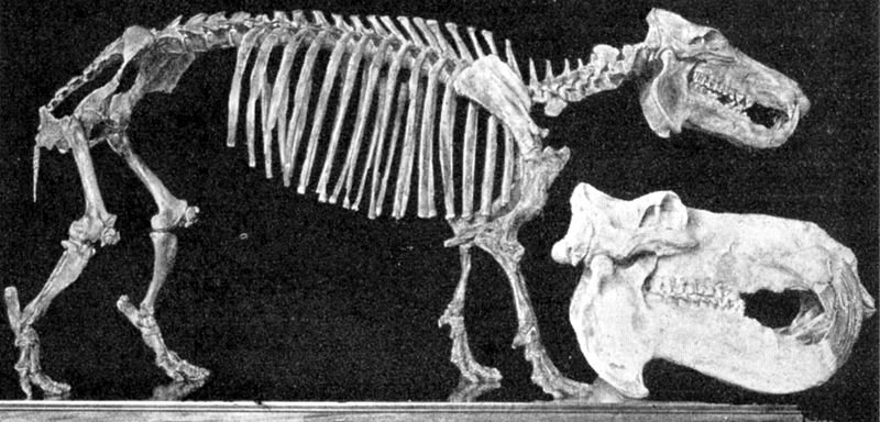 Szkielet hipopotama madagaskarskiego i czaszka hipopotama nilowego