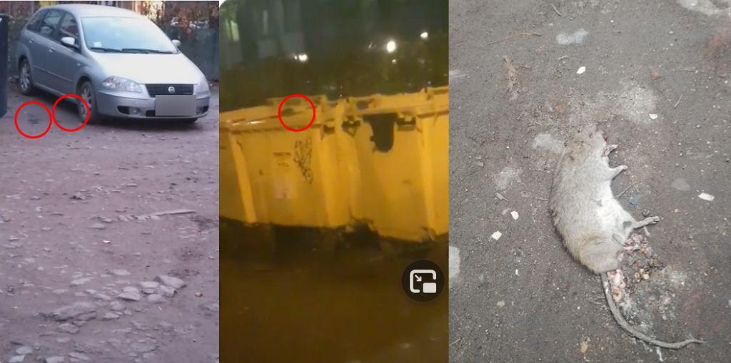 Mieszkańcy Wrocławia informują o pladze szczurów
