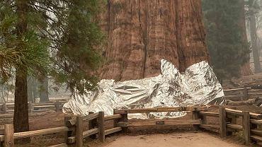 Największe drzewo świata owinięte kocem ognioodpornym