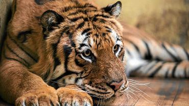 Jeden z uratowanych tygrysów