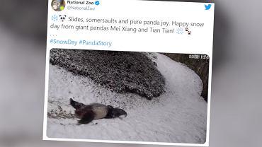 USA. Zima w waszyngtońskim zoo. Pandy bawią się na śniegu