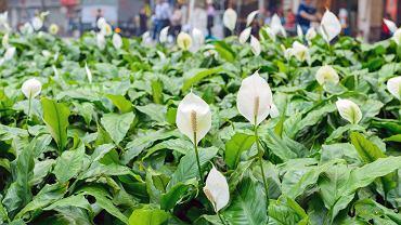 Skrzydłokwiat jest uprawiany zazwyczaj jako roślina ozdobna.