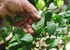 Ocet na mszyce. Jeden z najskuteczniejszych sposobów naturalnej ochrony roślin. Jak zrobić preparat i jak stosować?