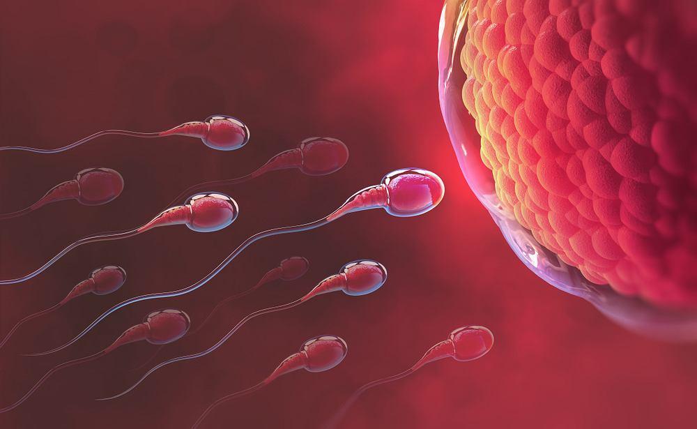 Ejakulat to porcja spermy wydzielana w czasie ejakulacji. W takim pojedynczym wytrysku znajduje się blisko 20 milionów plemników.