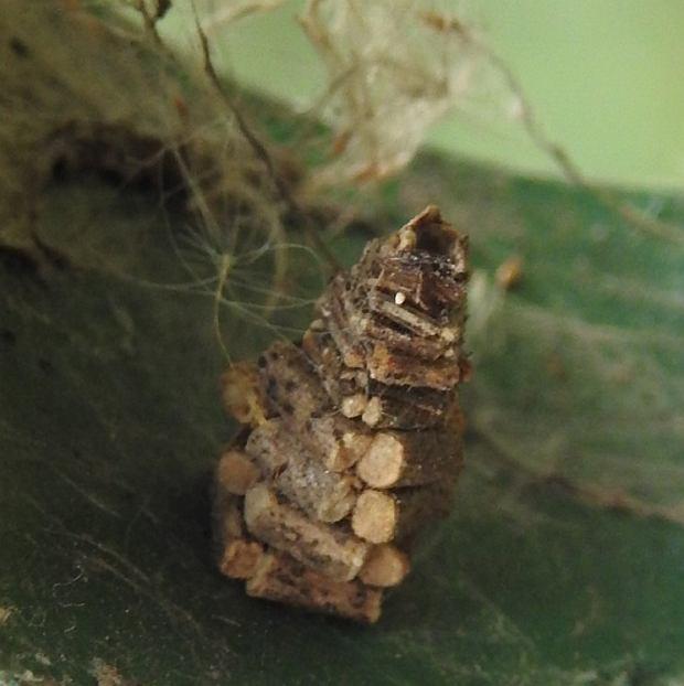 'Domek' zbudowany przez gąsienicę
