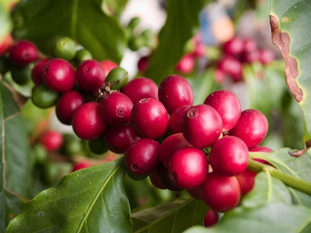 kawa o smaku owocu kawy