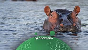 Hipopotamy (zdjęcie ilustracyjne).