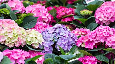 Hortensja ogrodowa występuje w wielu odmianach. Zdjęcie ilustracyjne