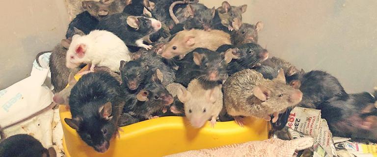 Wrocław. Ponad tysiąc myszy w mieszkaniu. Hodowla wymknęła się spod kontroli