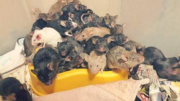 Ponad tysiąc myszy znaleziono w mieszkaniu 30-letniego hodowcy we Wrocławiu.