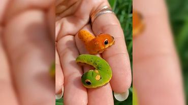 Gąsienice motyli paziowatych, które wyglądają jak węże z bajki.