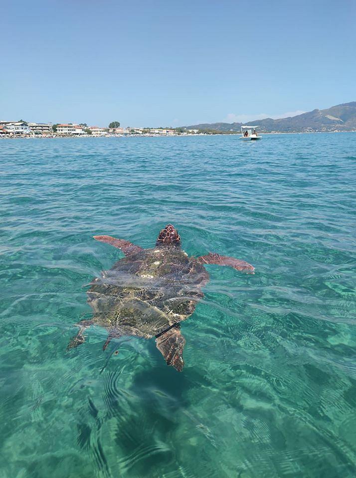 Żółw karetta na wyspie Zakynthos.